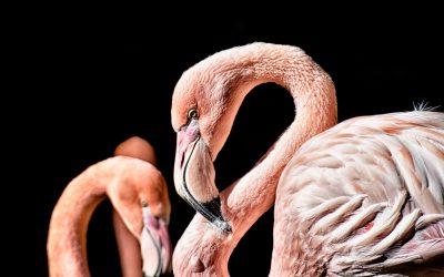 Hoe een flamingo zorgt voor betere samenwerking